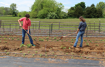 Two Lafayette seniors tend to a row of potatoes in the organic garden.